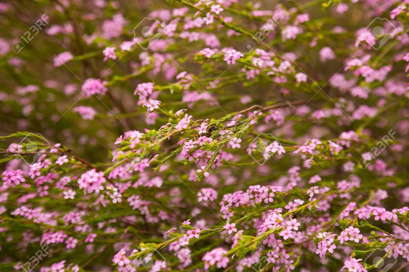 Close Up Of Small Pink Flowers Confetti Bush Coleonema Pulchellum