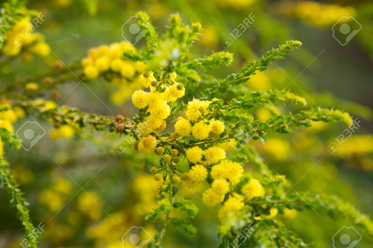 Close up of australian acacia truncata bright yellow flowers stock close up of australian acacia truncata bright yellow flowers stock photo 62138041 mightylinksfo