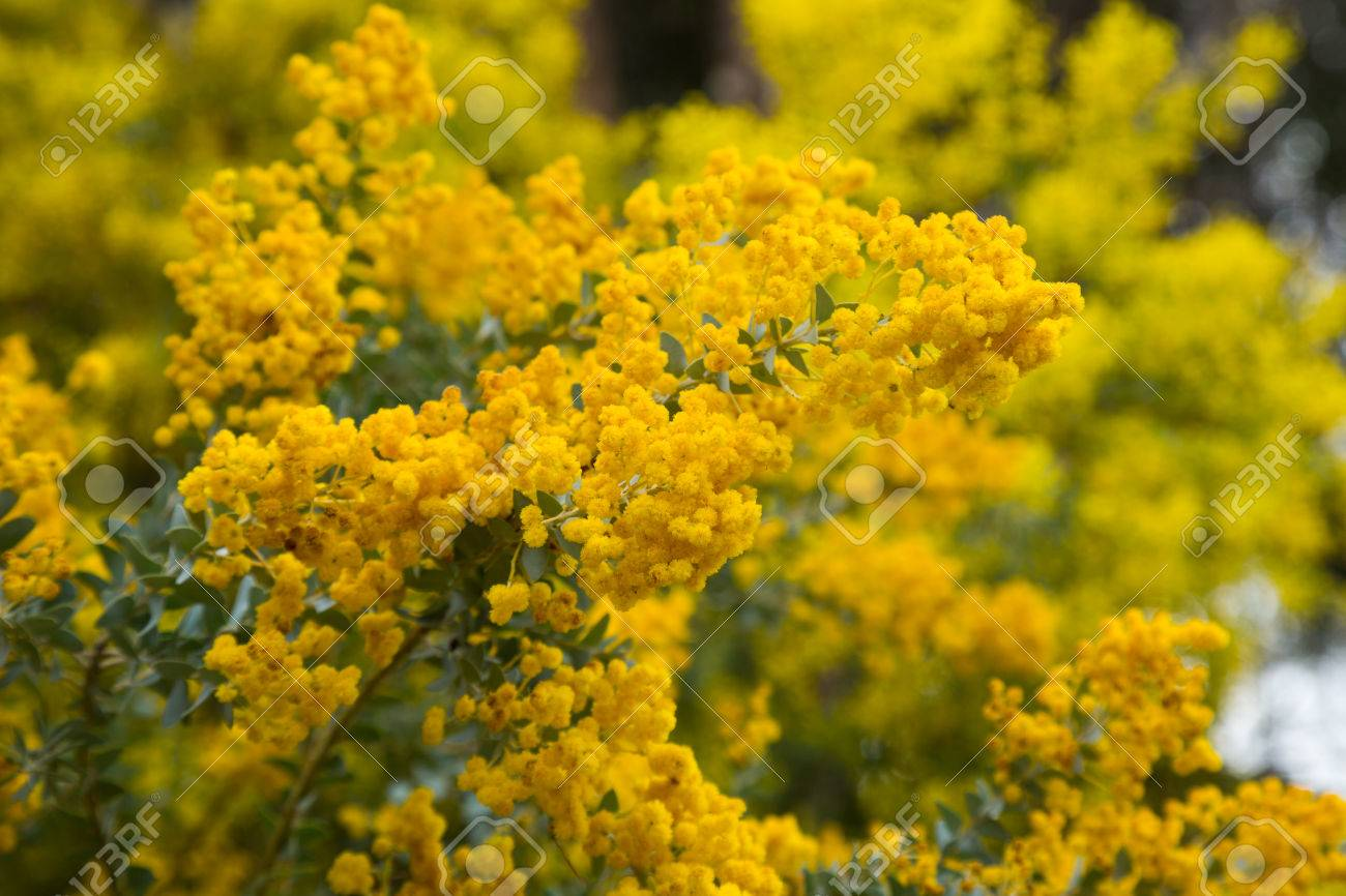 Bright Yellow Fragrant Flowers Of Acacia Howittii Stock Photo