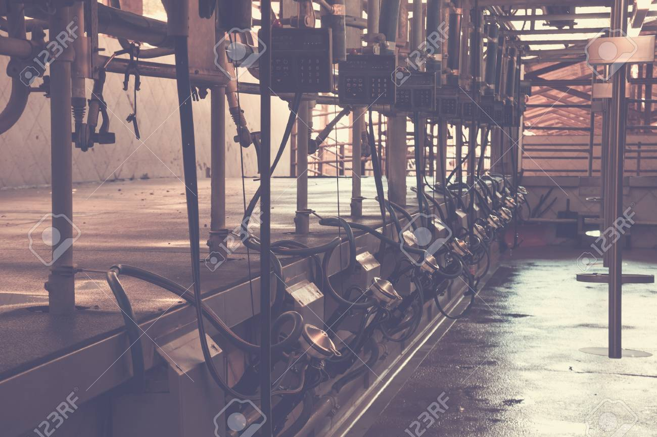 Automated Milking Line For Cows On Modern Dairy Farm Stock Photo