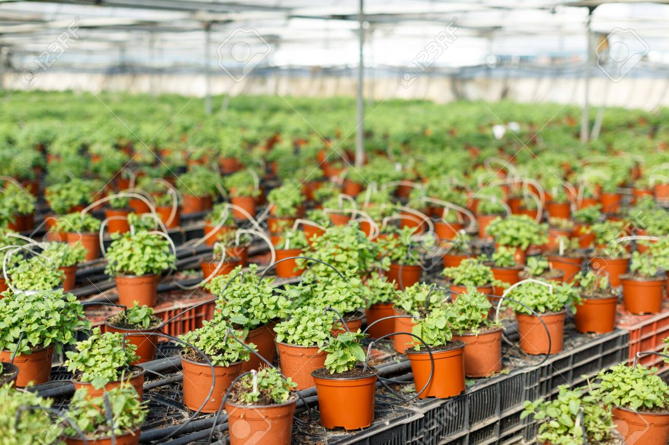 Rows Of Pots With Growing Mint And Melissa Herbs In Greenhouse Stock Photo Picture And Royalty Free Image Image 116472170