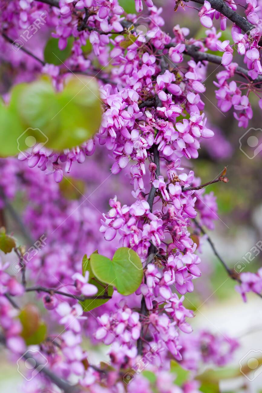 Lush Blooming Cercis Tree With Pinkish Red Flowers On Leafless