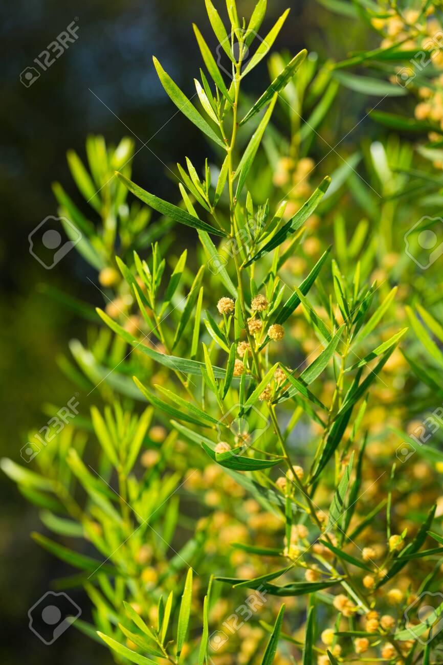 Closeup of Acacia dodonaeifolia globular yellow flower heads on green leaves background in spring - 123004473