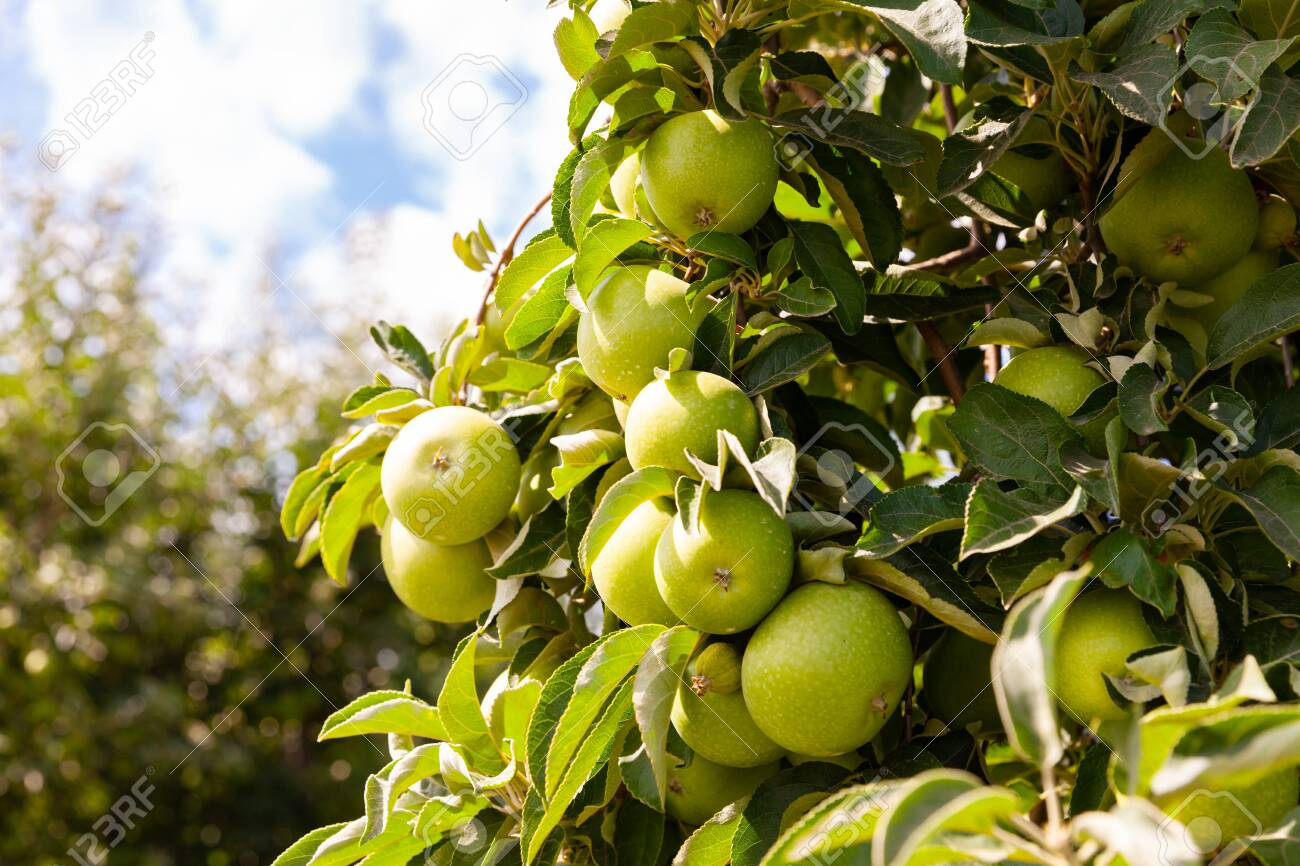 Rich farm harvest, ripe apples on branches in green foliage in summer orchard - 130848038
