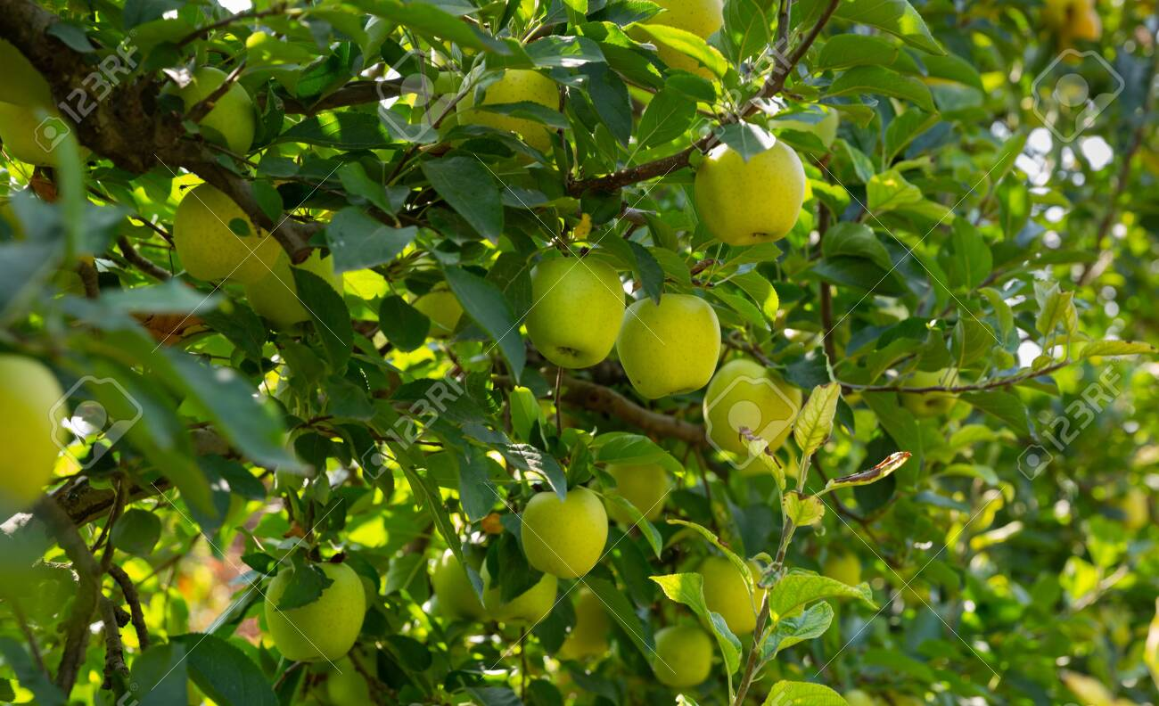 Closeup of ripe sweet apples on tree branches in green foliage of summer orchard - 133342403