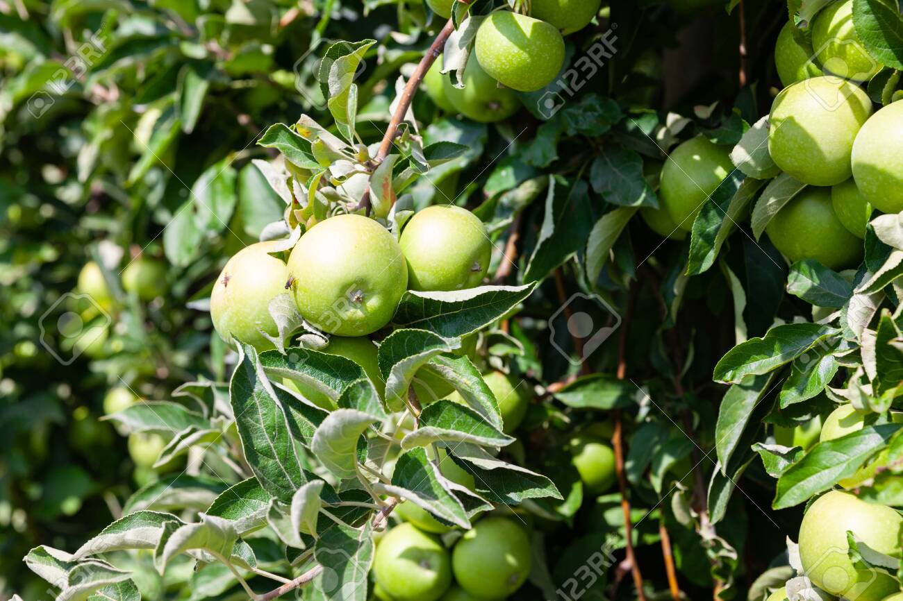 Juicy apples on apple tree branches ready to be harvested in summer fruit garden - 134071211