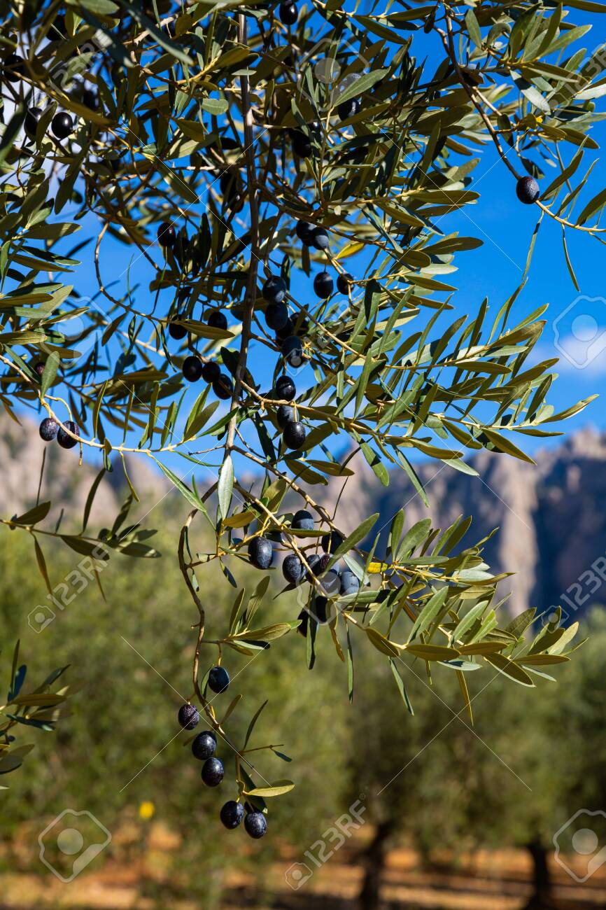 Closeup of olive tree branches with ripe black olives on plantation. Harvest time - 138197209