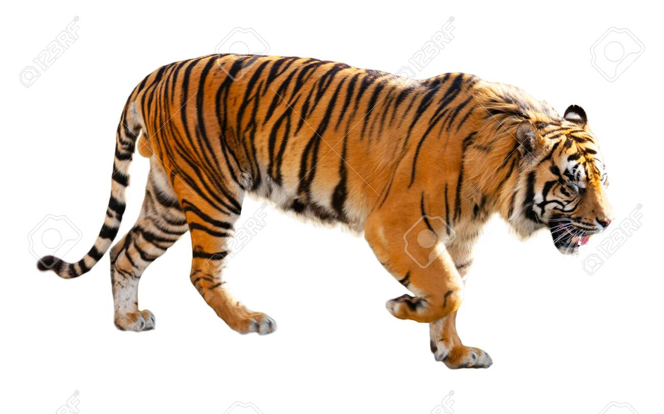 Great tiger in the nature habitat - 148863754