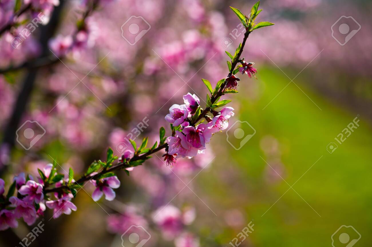 Closeup of peach flowers on tree branches in spring orchard - 149635474
