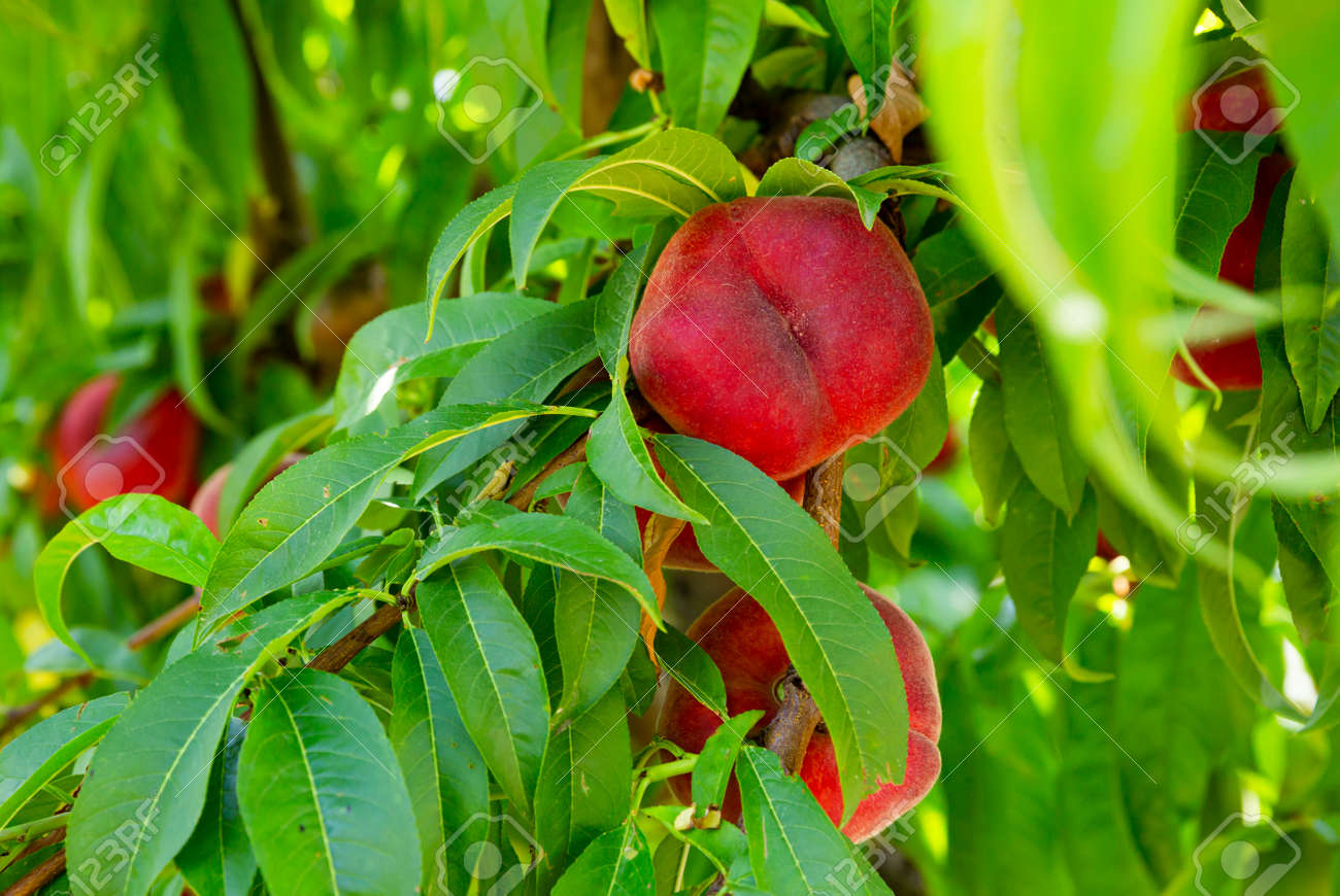 Ripe flat peaches growing on tree branches - 162330976