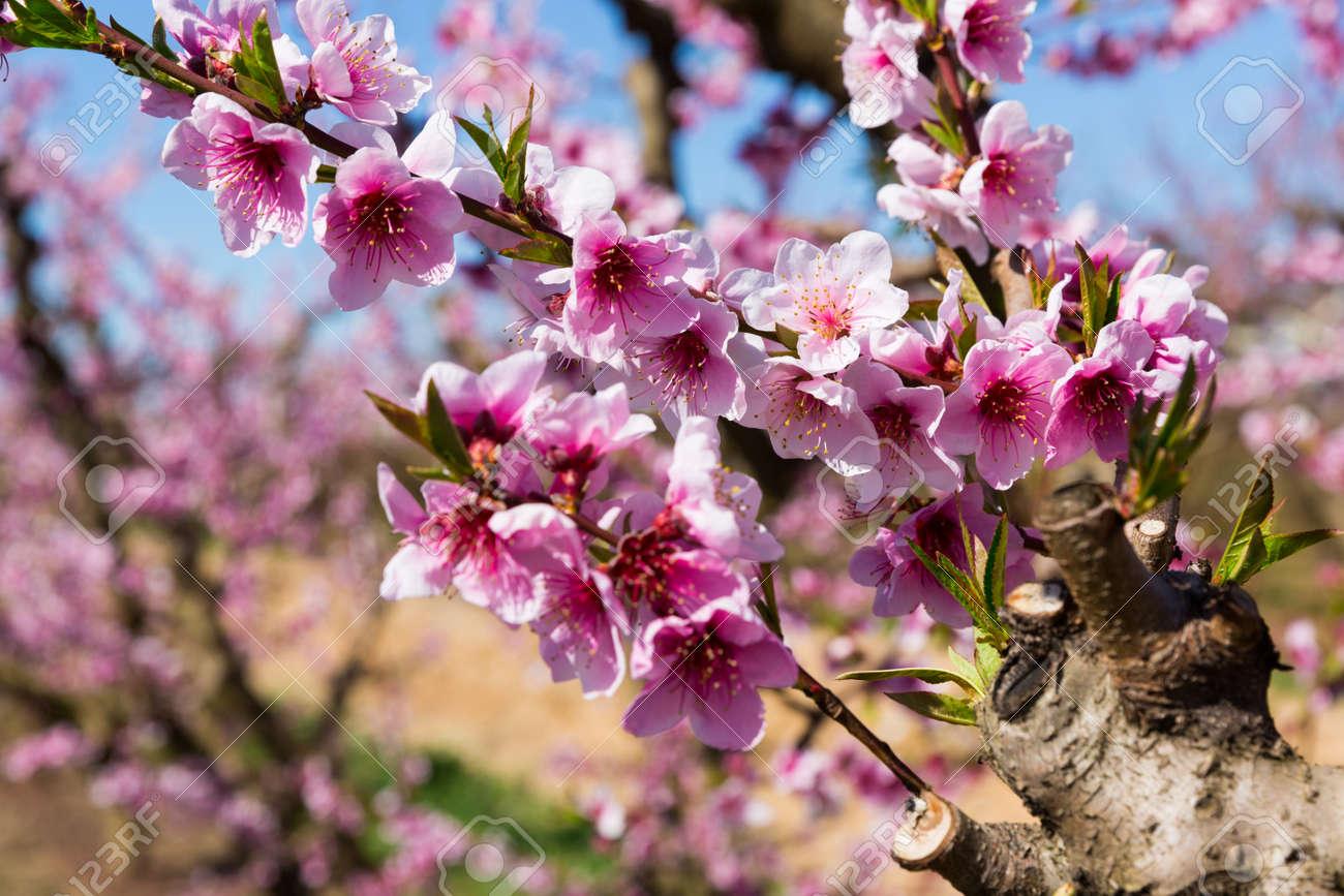 Flowers on peach tree branch - 163069774