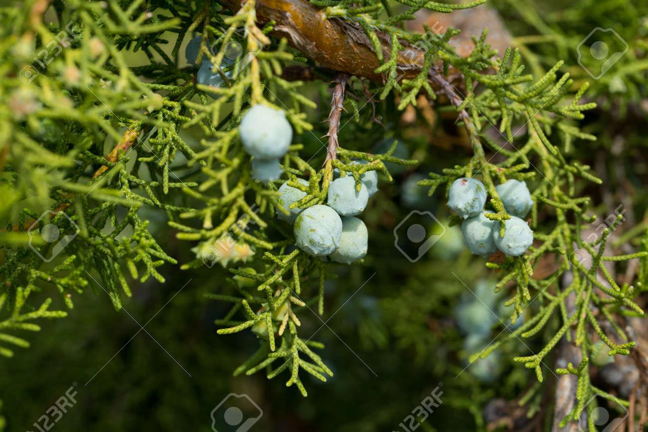 California juniper fruits - 169437553