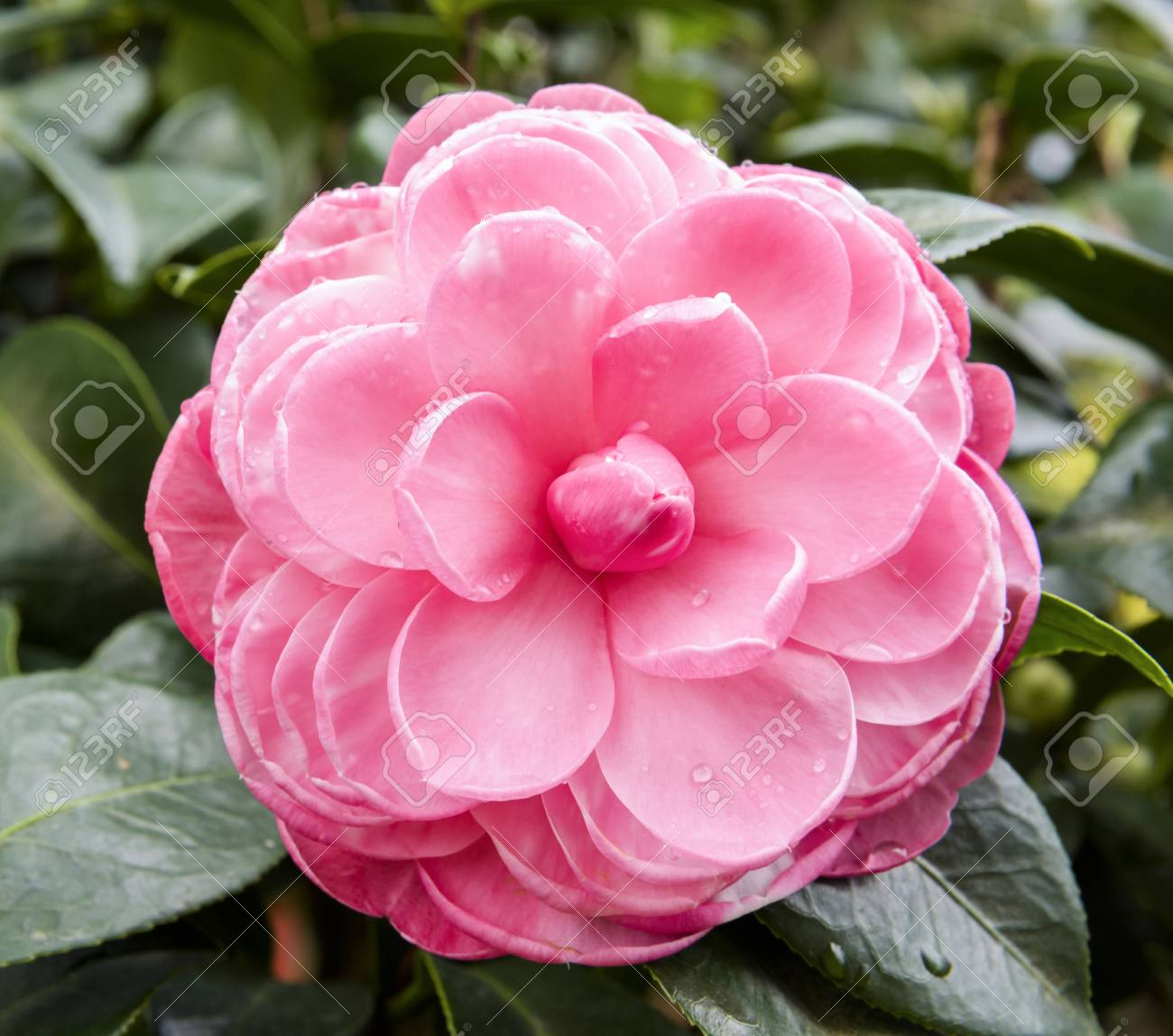 Pink with white camellia flowers beautiful pink with white flowers pink with white camellia flowers beautiful pink with white flowers blooming in the garden in mightylinksfo