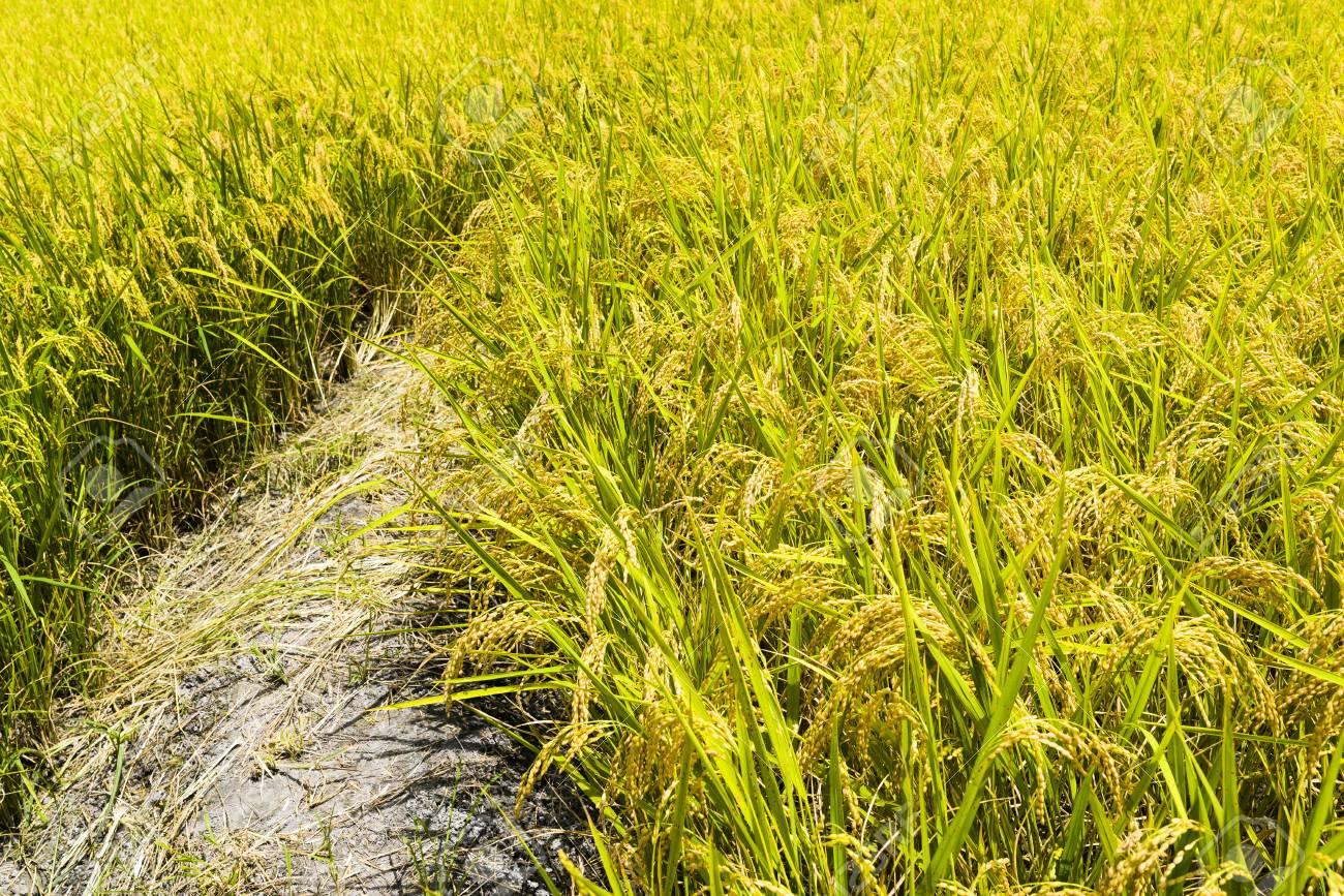 CRISPR Cas9 a permis îmbunătățirea rezistenței la stres a orezului
