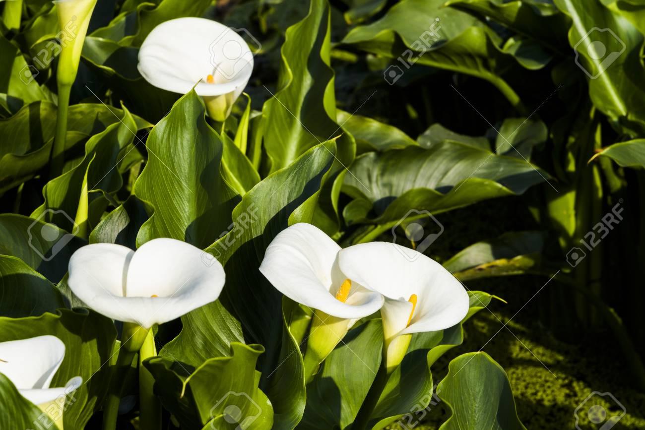 Beautiful white calla lily flowers blooming in the garden calla beautiful white calla lily flowers blooming in the garden calla lily field stock photo izmirmasajfo
