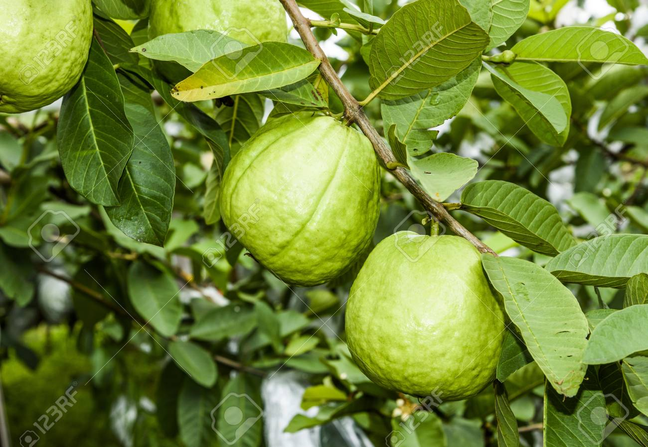Guava Fruit Tree Pictures
