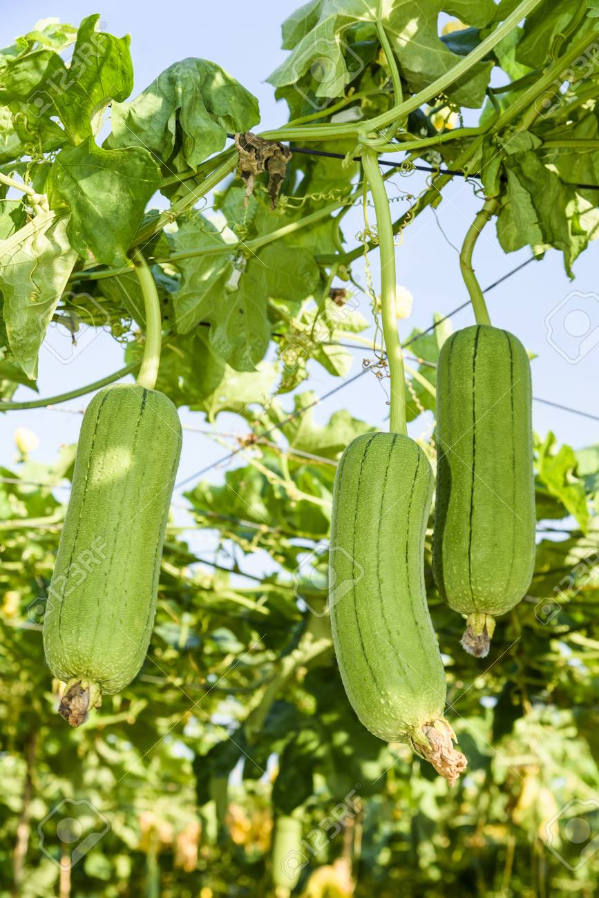 Loofah Gourd Plant In Garden Luffa Cylindrica Stock Photo Picture And Royalty Free Image Image 93798169