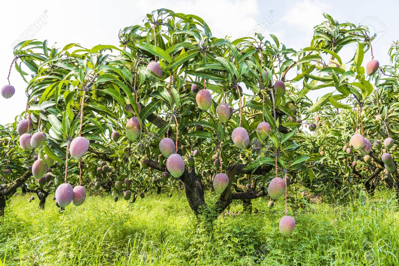 Close-up Of Mango Fruits On Mango Tree In Tainan, Taiwan. Stock Photo,  Picture And Royalty Free Image. Image 149236150.