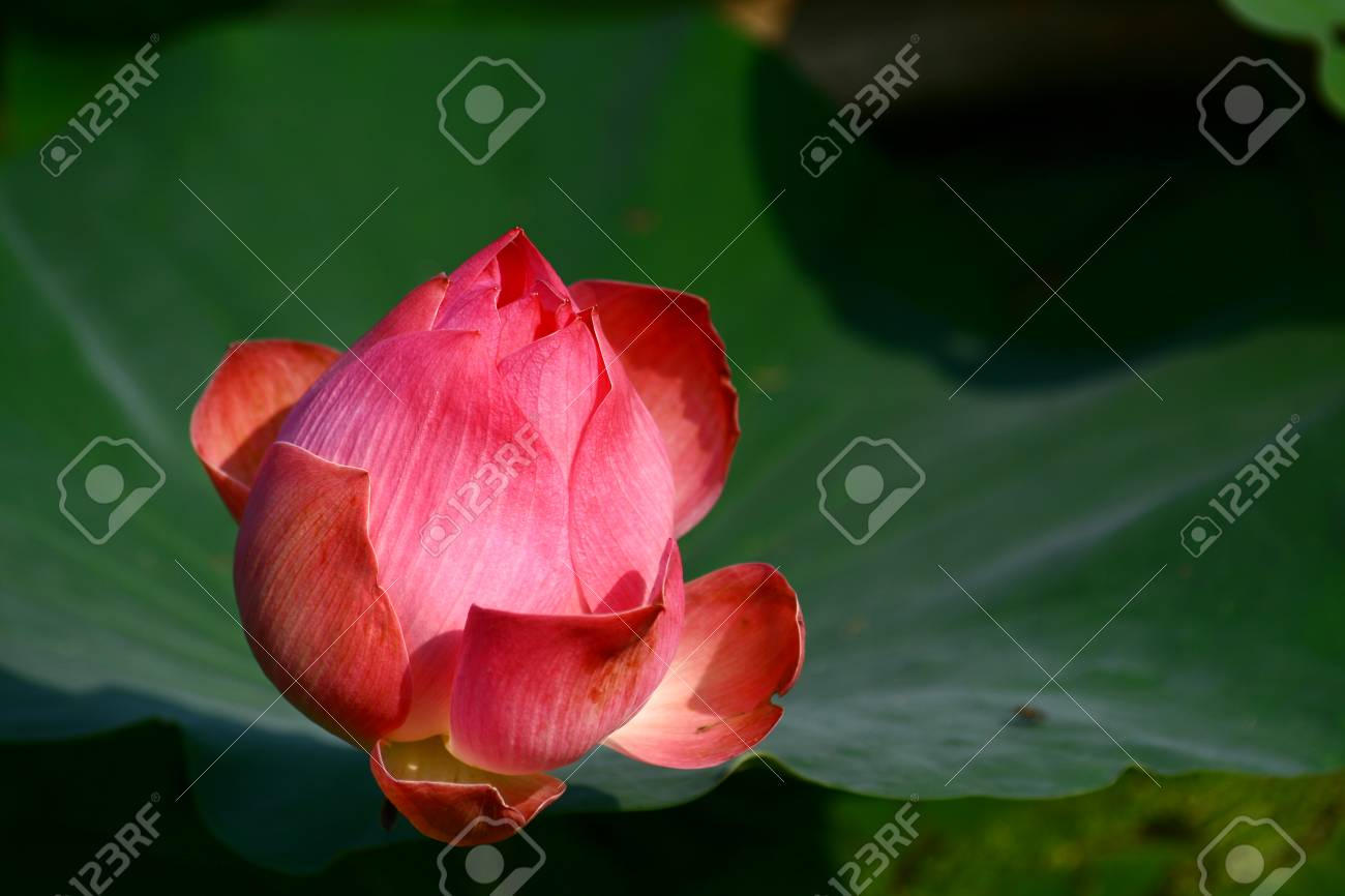 Pink Lotus Water Lilly The Flower Symbolizes Religion Buddhism