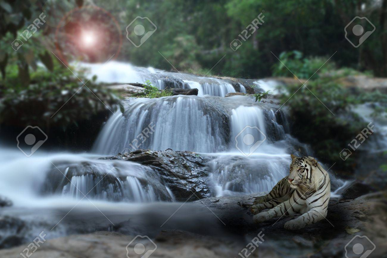tiger at waterfall stock photo, picture and royalty free image