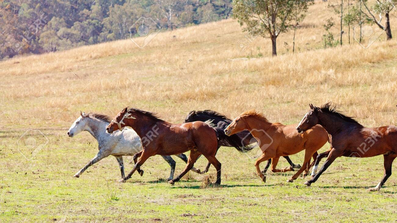 A Herd Of Strong And Fast Wild Horses Racing Across The Plains Stock Photo Picture And Royalty Free Image Image 120672726