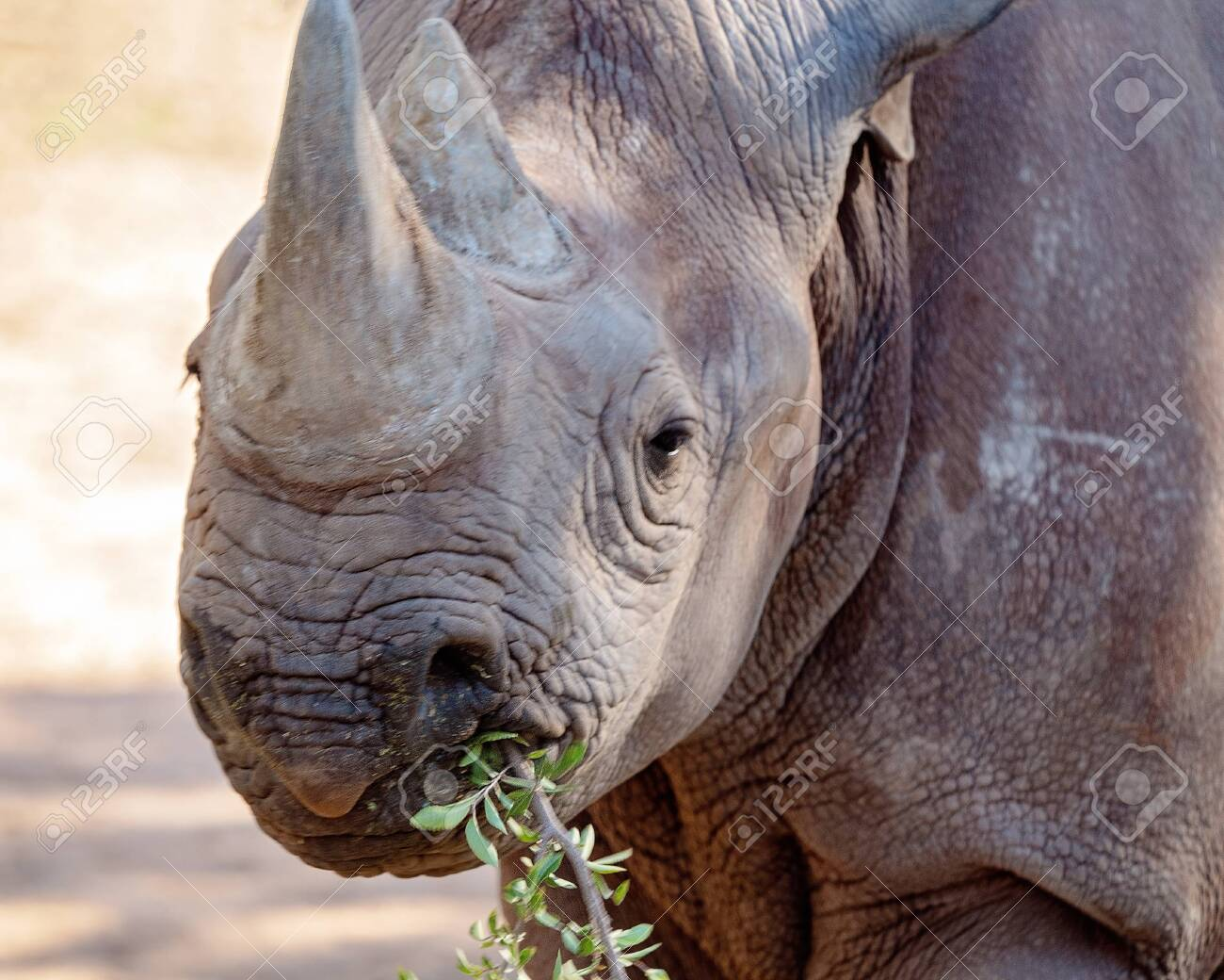 A black rhinoceros, an endangered species, chewing on some bush
