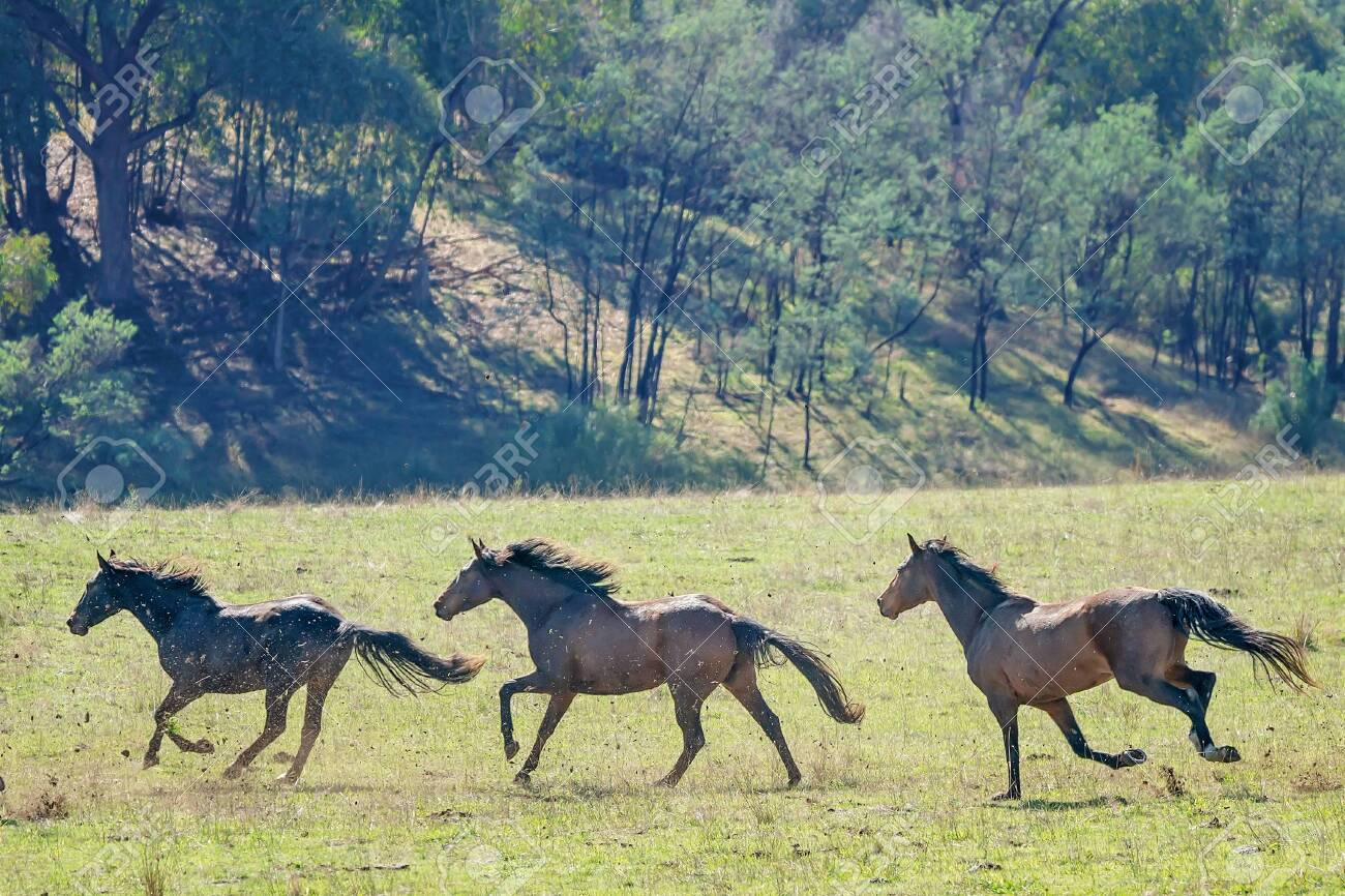 Three Magnificent Australian Wild Horses Running Fast Across Stock Photo Picture And Royalty Free Image Image 123815056