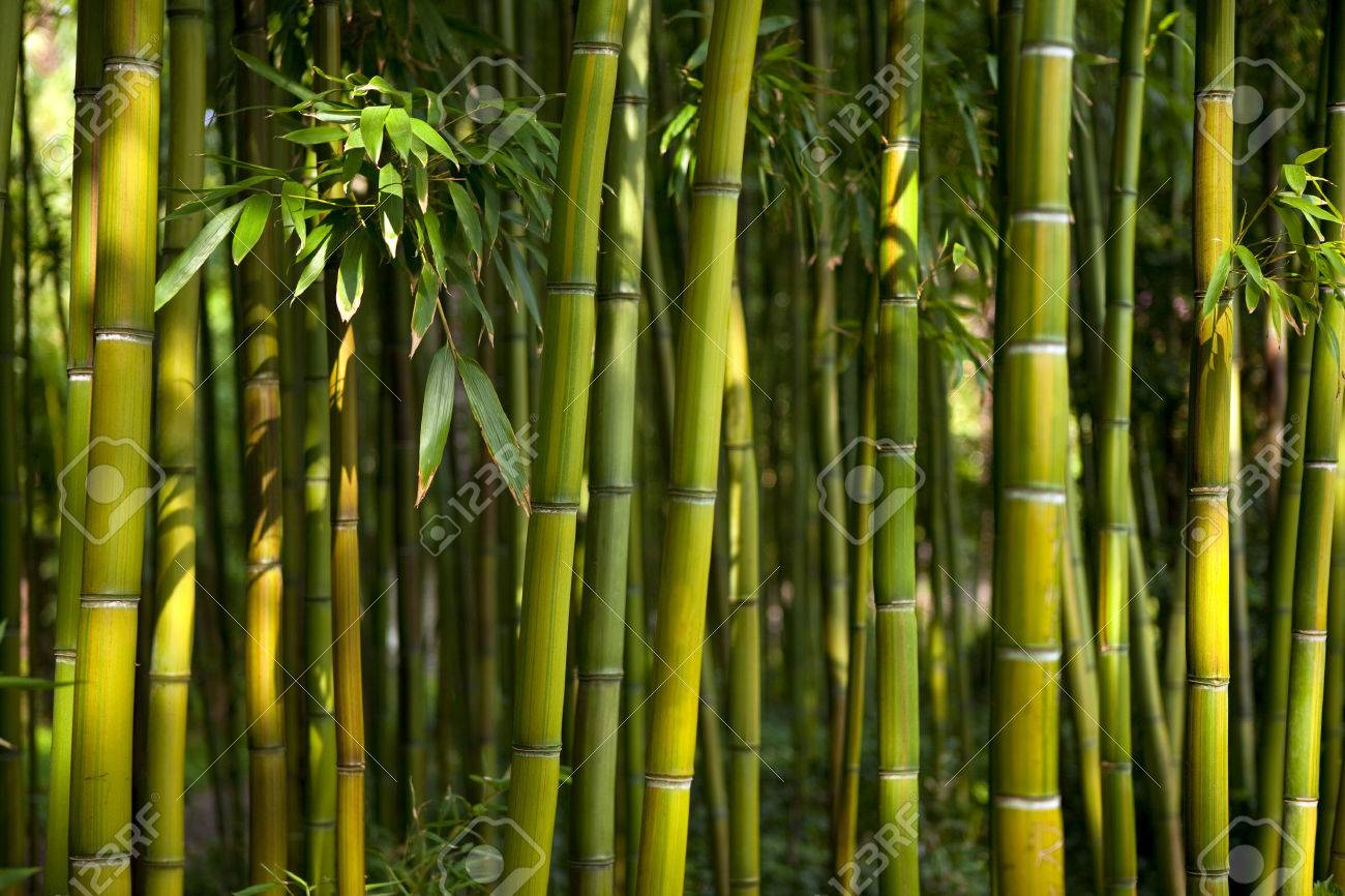 Außergewöhnlich Bamboo Forest In A Chinese Garden Stock Photo, Picture And Royalty @ES_97