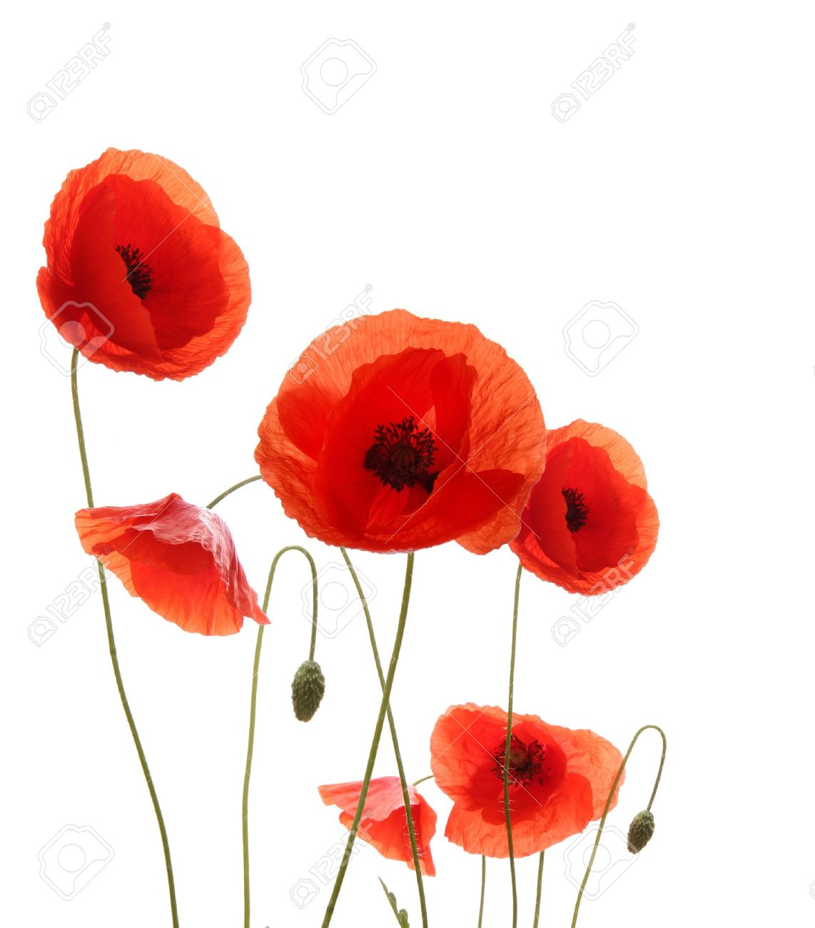 poppy flowers stock photos  pictures. royalty free poppy flowers, Beautiful flower