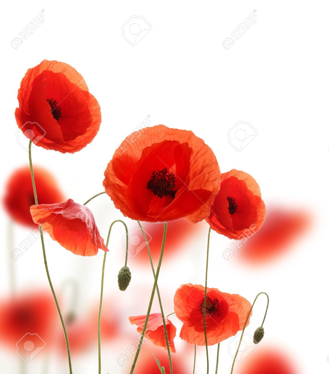 Red Poppy Stock Photos Royalty Free Red Poppy Images
