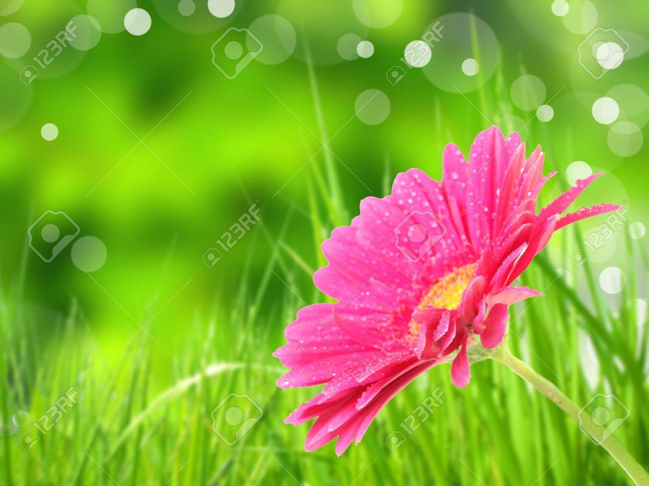 Gerber flower Stock Photo - 12809845