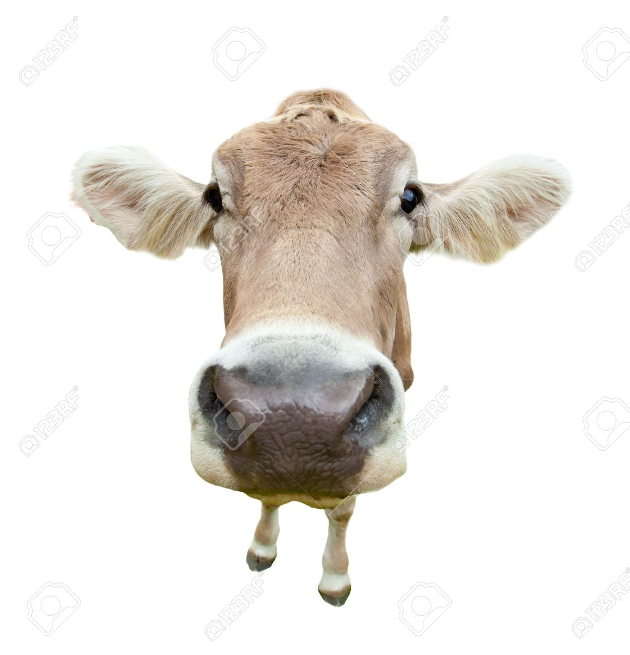 funny cow head portrait isolated on white background stock photo