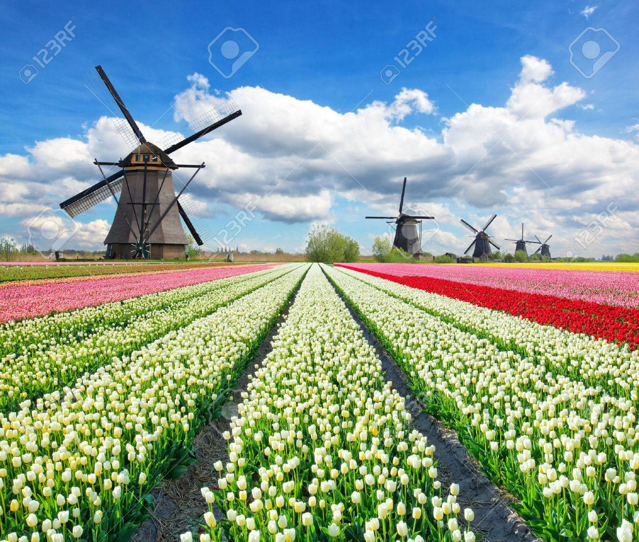 Vibrant tulips field with Dutch windmills, Netherlands. Beautiful cloudy sky - 50529129