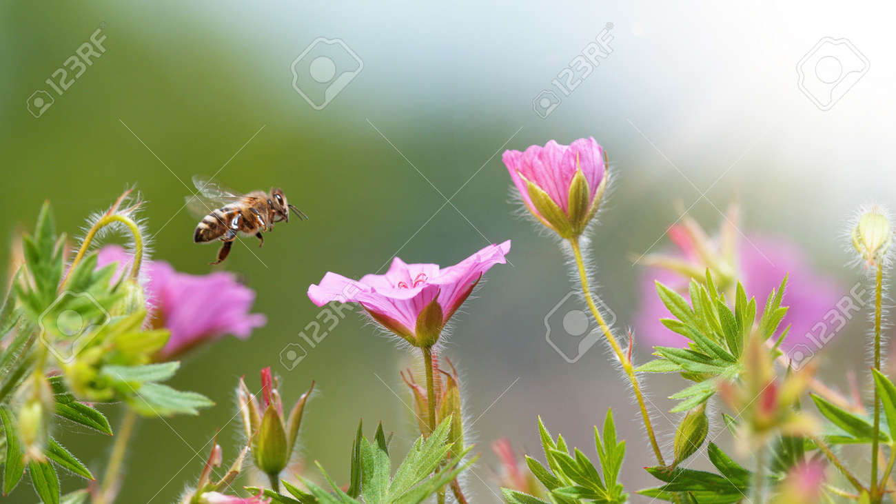 A Bee hovering pollen from pink blossom. Macro shot, nature outdoor photography on blooming meadow. - 170715443