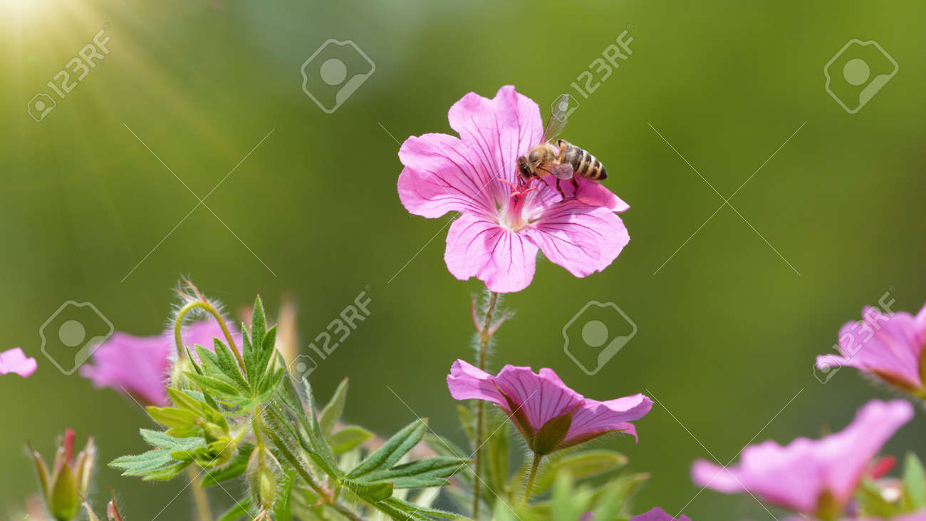 A Bee hovering pollen from pink blossom. Macro shot, nature outdoor photography on blooming meadow. - 170714503