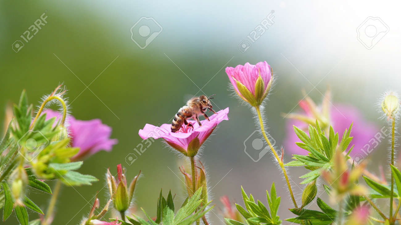 A Bee hovering pollen from pink blossom. Macro shot, nature outdoor photography on blooming meadow. - 170714663