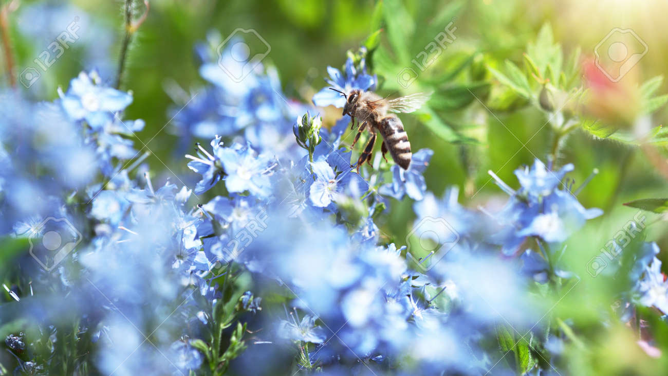 A Bee hovering pollen from pink blossom. Macro shot, nature outdoor photography on blooming meadow. - 170715132