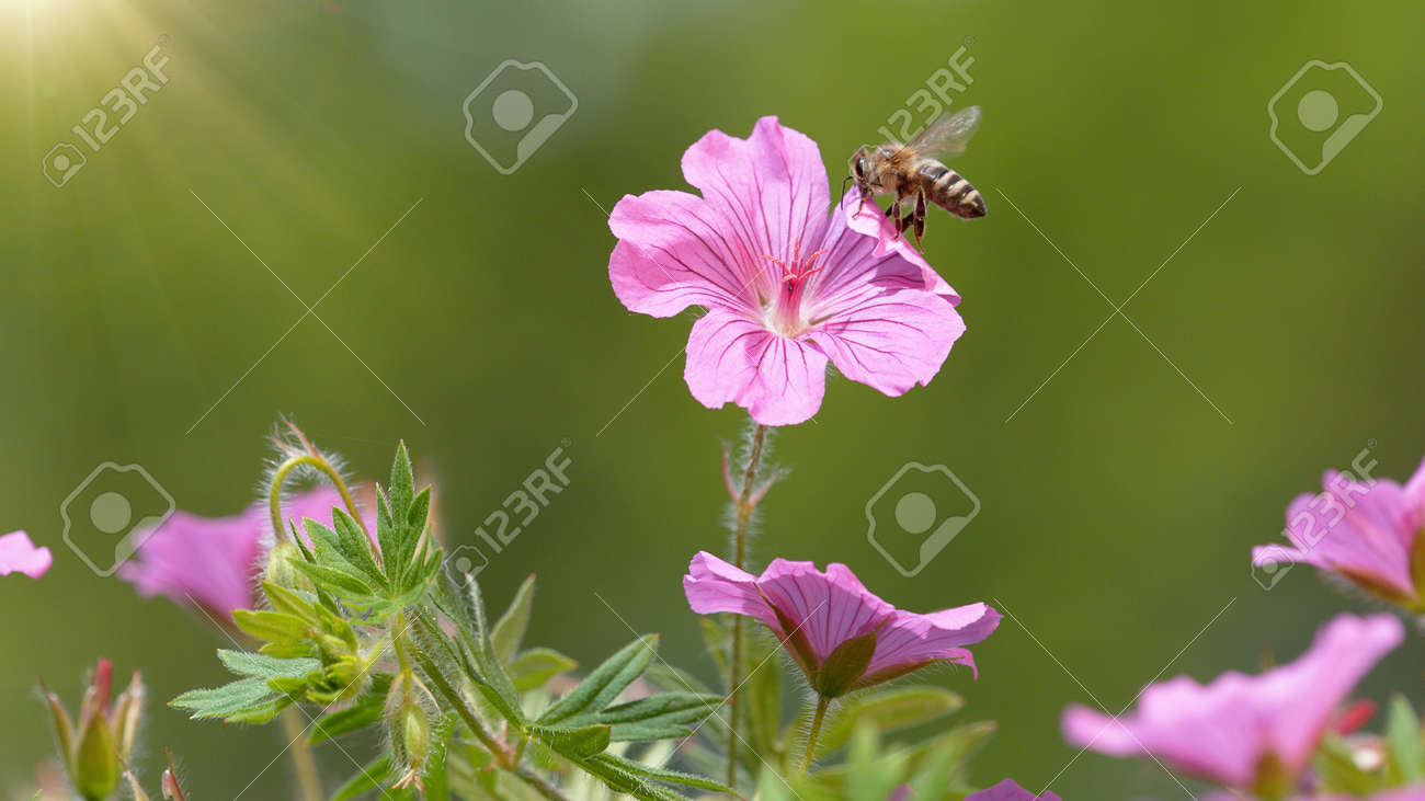 A Bee hovering pollen from pink blossom. Macro shot, nature outdoor photography on blooming meadow. - 170715157