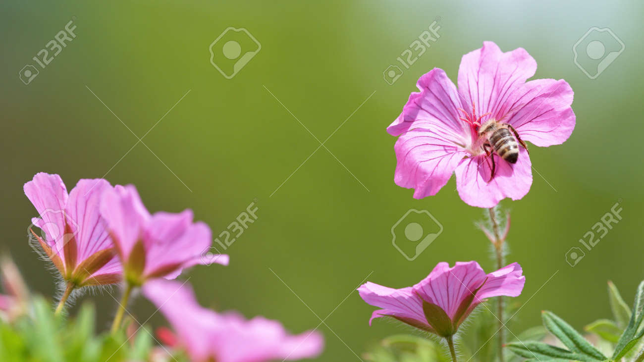 A Bee hovering pollen from pink blossom. Macro shot, nature outdoor photography on blooming meadow. - 170715250