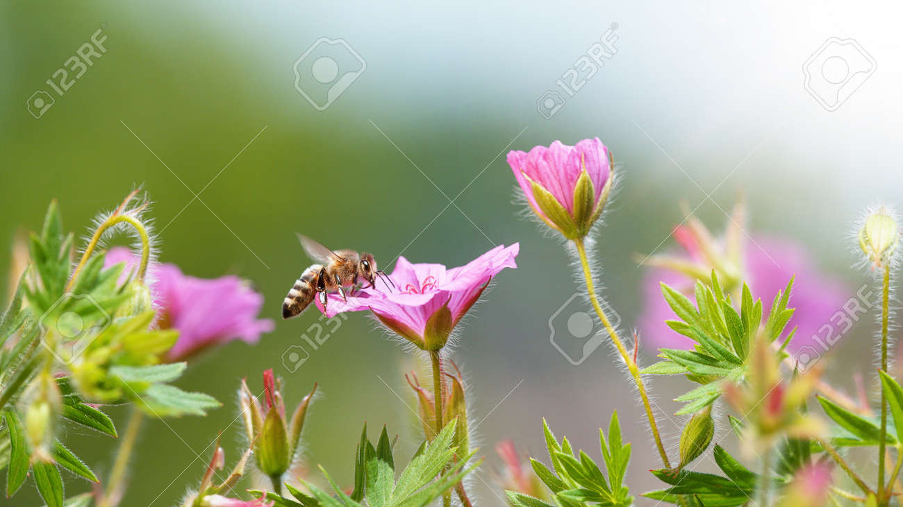 A Bee hovering pollen from pink blossom. Macro shot, nature outdoor photography on blooming meadow. - 170714723