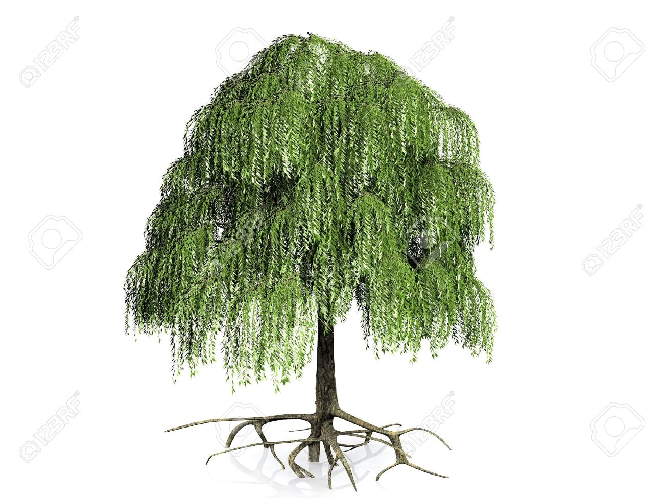The Willow Tree On A White Background Stock Photo, Picture And ...