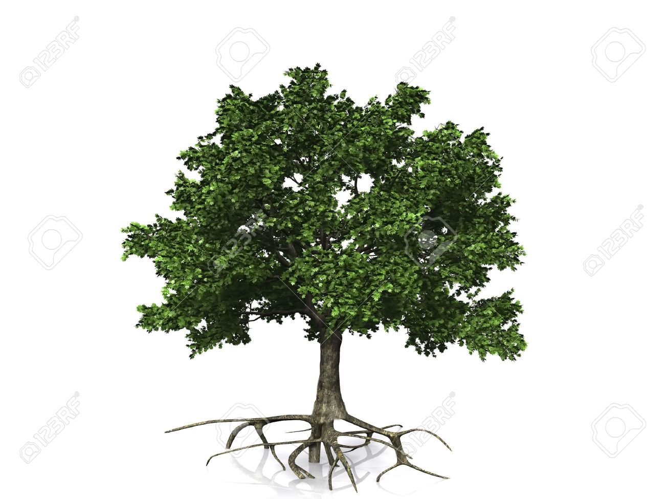 oak  on a white background Stock Photo - 10974657
