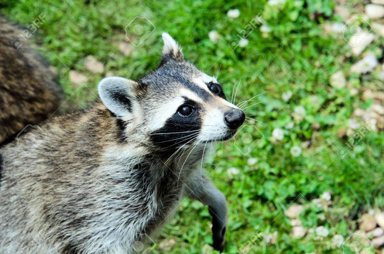 the raccoon Stock Photo - 12550949