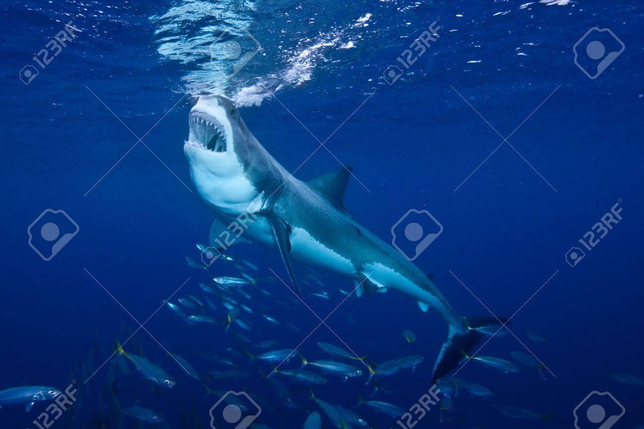 Great White Shark Feeding at Guadalupe Island Stock Photo - 9050389
