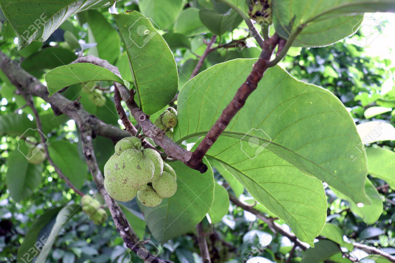 green colored fresh Artocarpus lacucha stock on tree in the farm for harvest - 170695913
