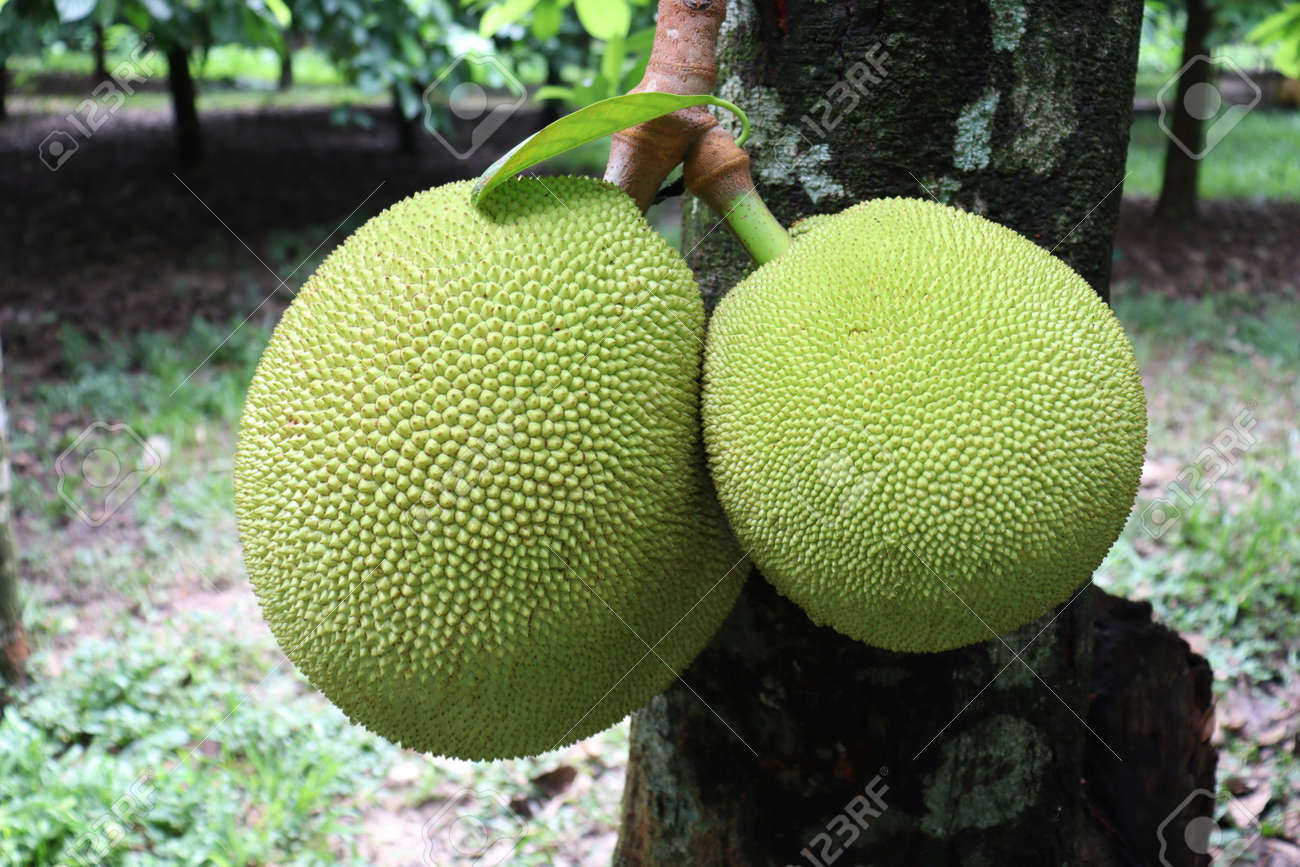 tasty and healthy raw jackfruit stock on tree in the farm for harvest - 170696235