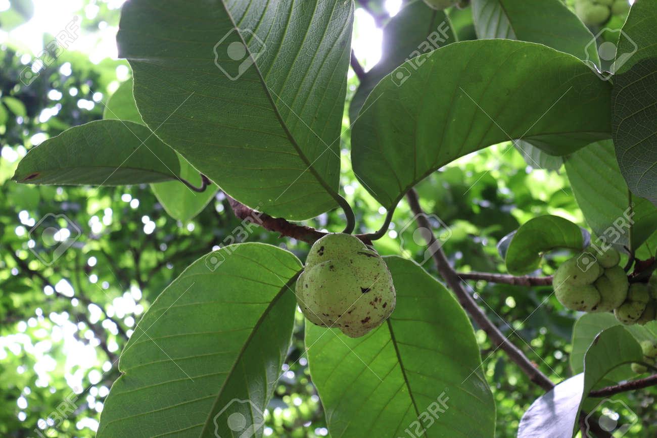 green colored fresh Artocarpus lacucha stock on tree in the farm for harvest - 170696086