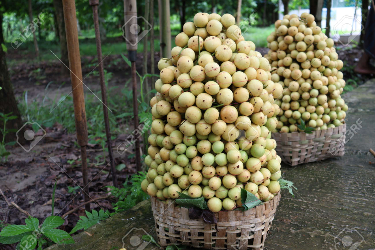tasty baccaurea motleyana stock on basket in the farm for harvest - 170752286