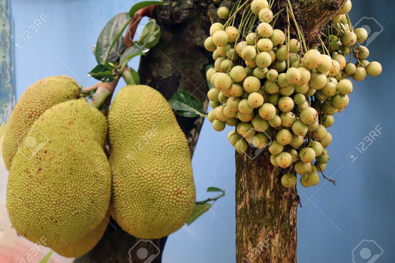 tasty baccaurea motleyana and jackfruit on tree in the farm for harvest - 170752288
