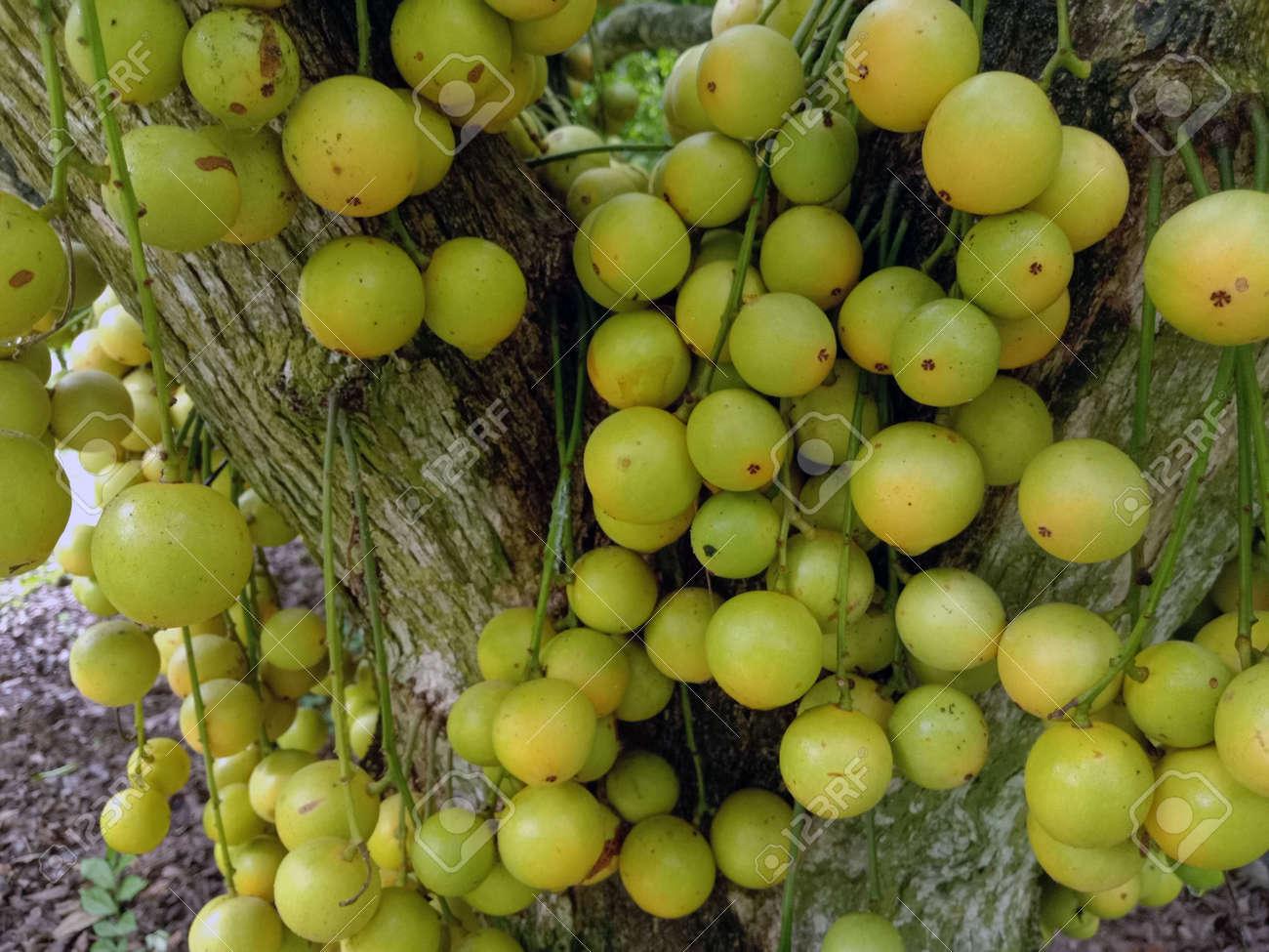 tasty baccaurea motleyana stock on tree in the farm for harvest - 170752290